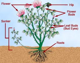 Digital Illustration for Lowe's How-To (Rose Gardening)